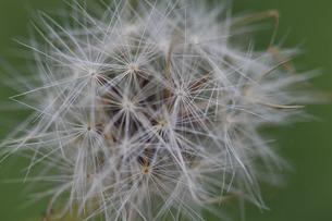 タンポポの綿毛の写真素材 [FYI04907100]