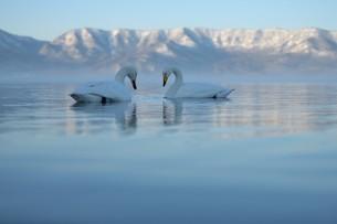 湖畔で羽を休めるオオハクチョウの写真素材 [FYI04907102]