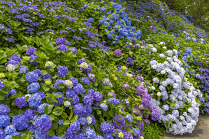 観音寺 紫陽花の写真素材 [FYI04907189]
