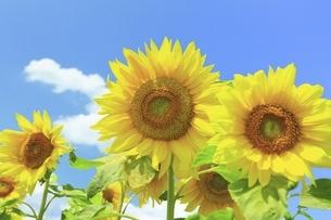 ヒマワリの花の写真素材 [FYI04907203]