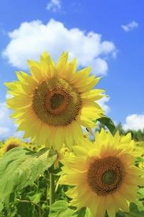 ヒマワリの花の写真素材 [FYI04907204]