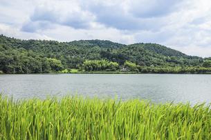 水辺にショウブの群生を見る広沢池の写真素材 [FYI04907269]