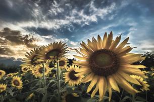夕暮前の向日葵畑の写真素材 [FYI04907384]