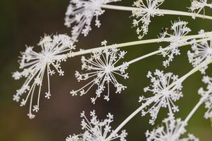 屋外で撮影したシシウドの花の写真素材 [FYI04907445]