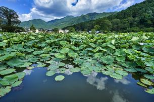 明見湖(はす池)ハスの花の写真素材 [FYI04908155]