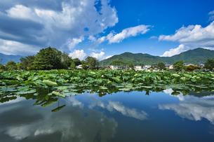 明見湖(はす池)ハスの花の写真素材 [FYI04908160]