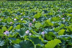 明見湖(はす池)ハスの花の写真素材 [FYI04908161]