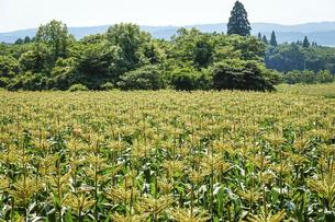 高原に広がるトウモロコシ畑(長野県信濃町)の写真素材 [FYI04908187]