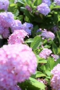 スウィート ピンクの紫陽花の写真素材 [FYI04908272]