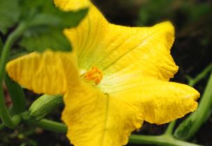 ズッキーニの花の写真素材 [FYI04908308]