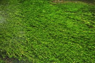 6月 醒ヶ井の地蔵川の梅花藻の写真素材 [FYI04908835]