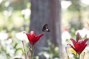 屋外で撮影した百合の画像の写真素材 [FYI04908859]