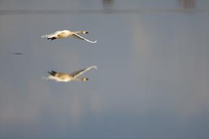 水面を飛ぶハクチョウの写真素材 [FYI04908936]
