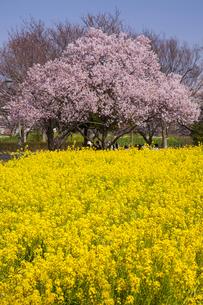 大宮第三公園 桜と菜の花の写真素材 [FYI04909002]