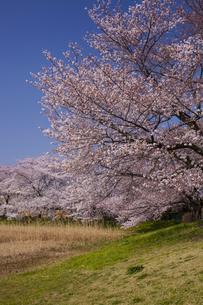 大宮第二公園 土手の桜の写真素材 [FYI04909003]