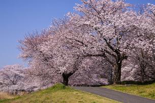大宮第二公園 土手の桜の写真素材 [FYI04909004]