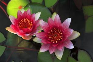6月 草津水生植物園のスイレンの写真素材 [FYI04909301]