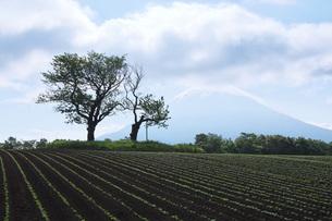 双子のさくらんぼの木と羊蹄山の写真素材 [FYI04909534]