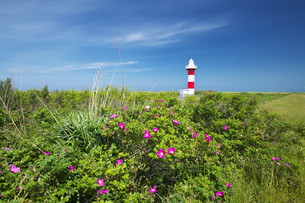 石狩灯台とハマナスの写真素材 [FYI04909571]