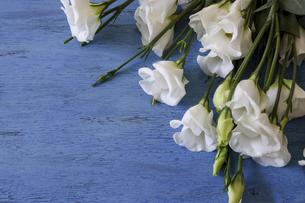 青色の木材背景のトルコキキョウの写真素材 [FYI04909595]