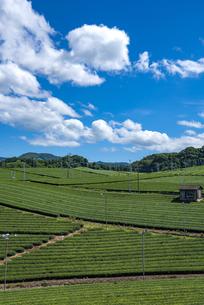福岡県 八女中央大茶園の写真素材 [FYI04909613]