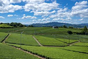福岡県 八女中央大茶園の写真素材 [FYI04909614]