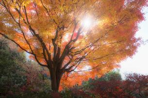 太陽の光が差し込む色鮮やかなモミジの木の写真素材 [FYI04909825]