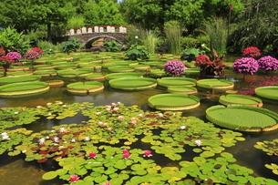 6月 スイレン咲く草津水生植物園の水生池の写真素材 [FYI04909861]