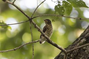 枝にとまる幼鳥の写真素材 [FYI04909890]