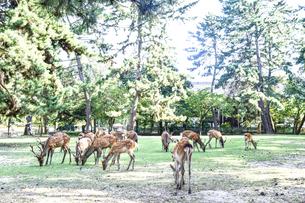 奈良公園の鹿の写真素材 [FYI04910369]