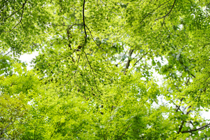 明るい森の木々の写真素材 [FYI04910746]