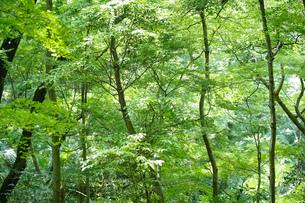 明るい森の木々の写真素材 [FYI04910747]
