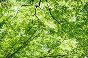 明るい森の木々の写真素材 [FYI04910748]