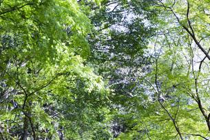 明るい森の木々の写真素材 [FYI04910752]