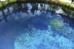 忍野八海の清流を泳ぐ鱒の写真素材 [FYI04910827]