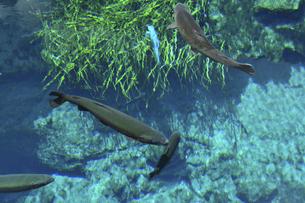 忍野八海の清流を泳ぐ鱒の写真素材 [FYI04910831]