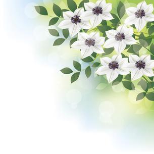 白いクレマチスの花背景イラストのイラスト素材 [FYI04910956]