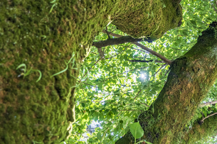 小田原城本丸広場の大木と木漏れ日の写真素材 [FYI04910976]