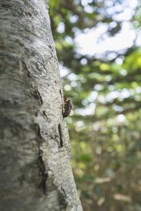木を登るセミの幼虫の写真素材 [FYI04911060]