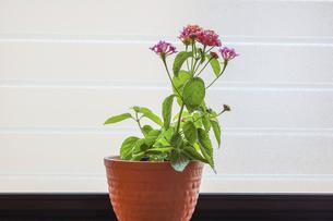 窓辺で撮影したランタナの鉢植えの写真素材 [FYI04911063]