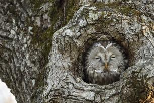 木の洞に入るフクロウの写真素材 [FYI04911161]