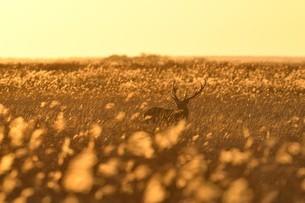 金に輝く草原に佇むエゾシカの写真素材 [FYI04911166]