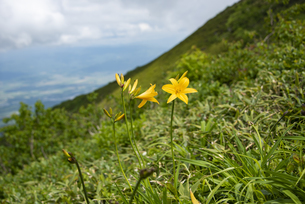 ニセコアンヌプリ山頂の花:ニッコウキスゲの写真素材 [FYI04911168]