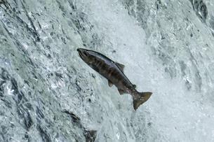 川を遡上する魚の写真素材 [FYI04911389]