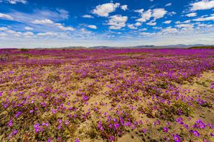 砂漠の花畑(フラワーリング・デザート)の写真素材 [FYI04911422]