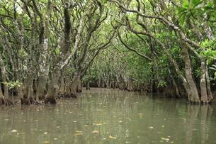 マングローブ原生林の写真素材 [FYI04911455]