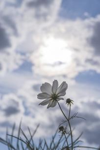 太陽を向くコスモスの写真素材 [FYI04911481]