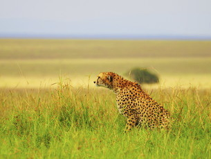 ケニアのマサイマラ国立保護区のチーターの写真素材 [FYI04911999]