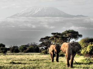ケニアのアンボセリ国立公園の象の家族とキリマンジャロの写真素材 [FYI04912000]
