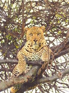 ケニアのマサイマラ国立保護区のレパードの写真素材 [FYI04912001]